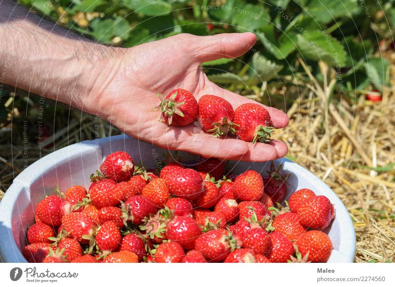 strawberries Fresh Strawberry Hand Berries Harvest Field Red Delicious Sweet Vitamin Summer Garden Mature Healthy Eating Fruit Tasty Food Dessert Juicy Nature