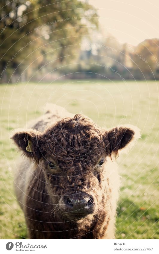 Nature Animal Landscape Field Baby animal Curiosity Pelt Cow Pet Brash Calf Farm animal Cattle Curly Animal portrait Galloways