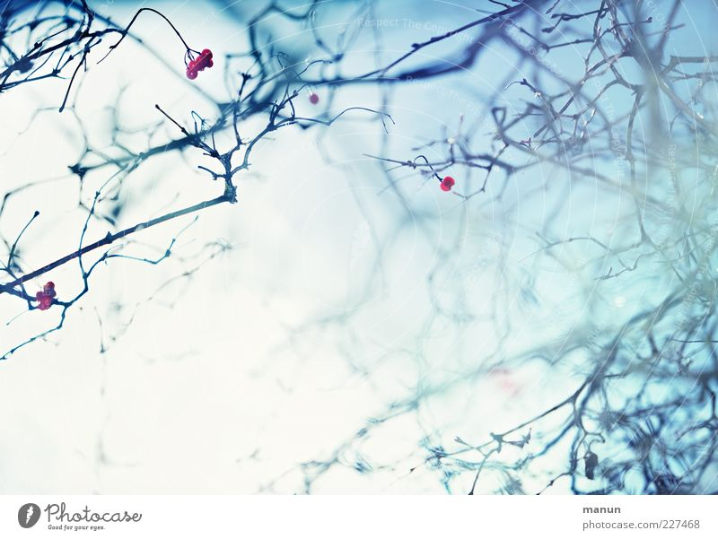 Nature Blue Winter Bright Ice Fog Fresh Esthetic Frost Exceptional Beautiful weather Surrealism Berries Branchage Twigs and branches Abstract