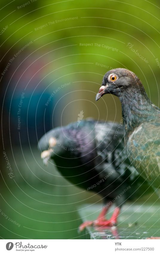 """The """"Gurr"""" Connection Environment Nature Animal Wild animal Animal face Wing 2 Pair of animals Green Violet Curiosity Coo Beak Blur Dove of peace Peace whisper"""