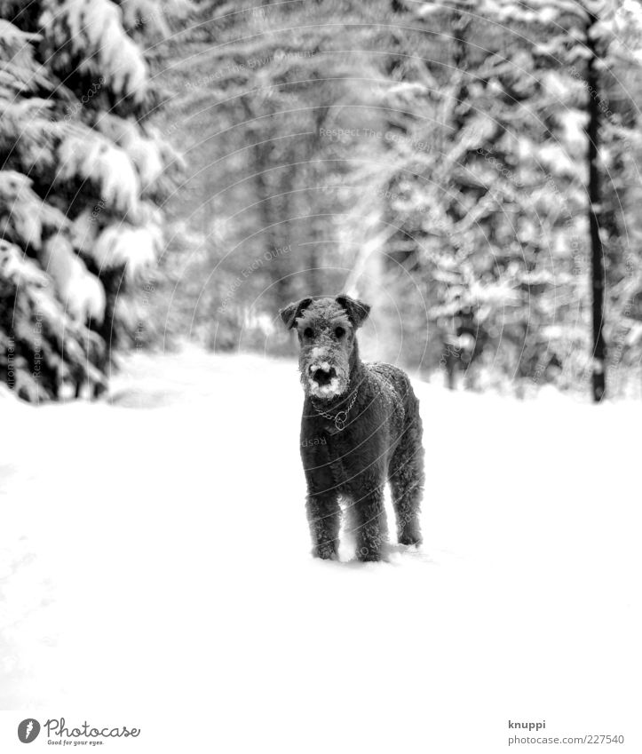 Nature White Winter Animal Black Forest Snow Dog Wait Stand Cute Animal face Curiosity Pelt Footpath Pet
