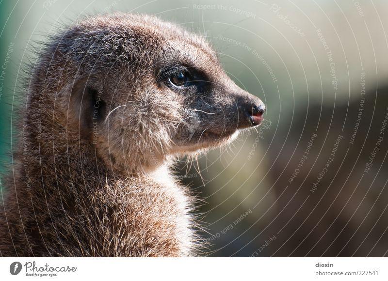 vigilant (Suricata suricatta N°2) Animal Wild animal Animal face Pelt Meerkat Snout Eyes Ear Nose 1 Looking Beautiful Cuddly Natural Responsibility Attentive