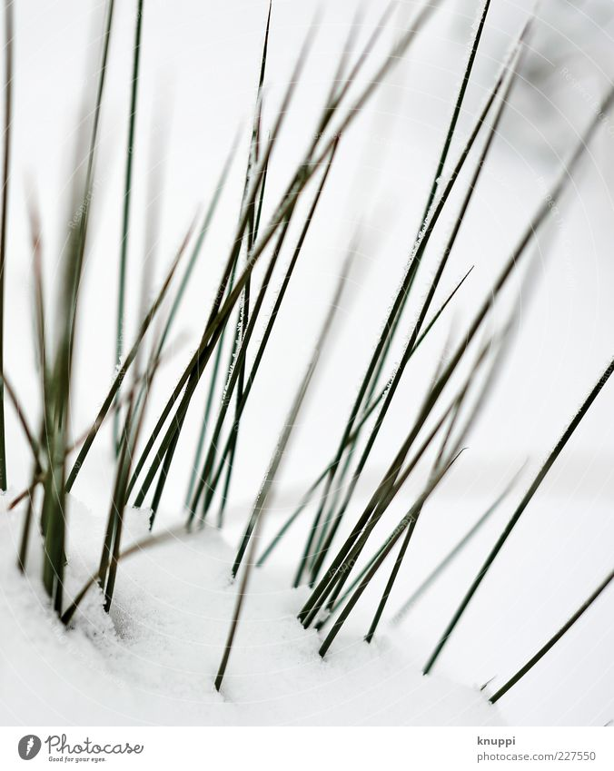 Nature White Green Plant Sun Winter Black Meadow Snow Environment Grass Elegant Point Stalk Blade of grass Copy Space