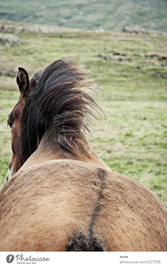 Animal Meadow Brown Wait Wind Horse Esthetic Stand Back Hind quarters Wild Natural Pelt Wild animal Iceland Pony