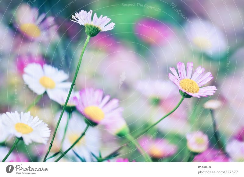 Pink Daisy Nature Spring Summer Plant Flower Leaf Blossom Fragrance Fantastic Fresh Beautiful Spring fever Ease Colour photo Exterior shot Close-up Detail