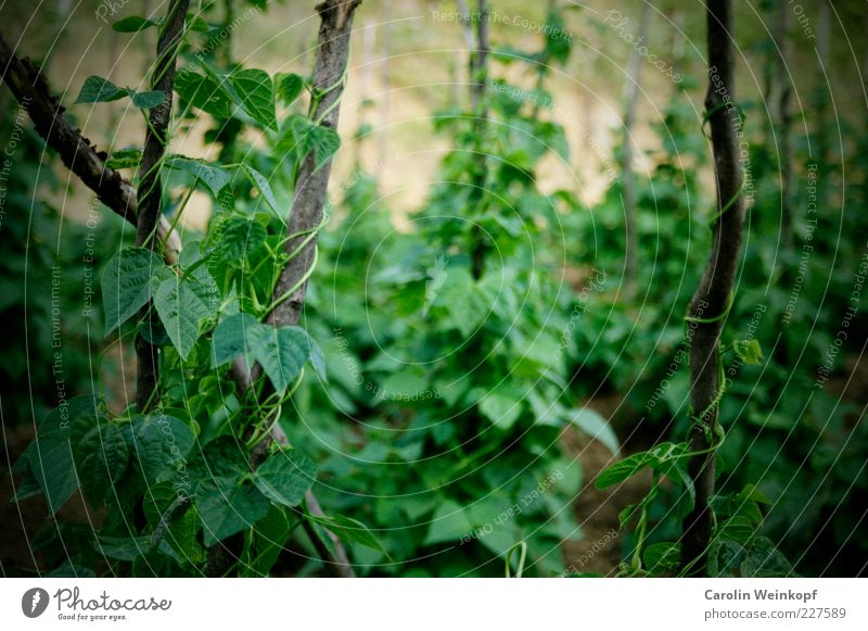 Nature Green Plant Summer Leaf Nutrition Environment Food Healthy Field Earth Energy Fresh Pure Agriculture Vegetable