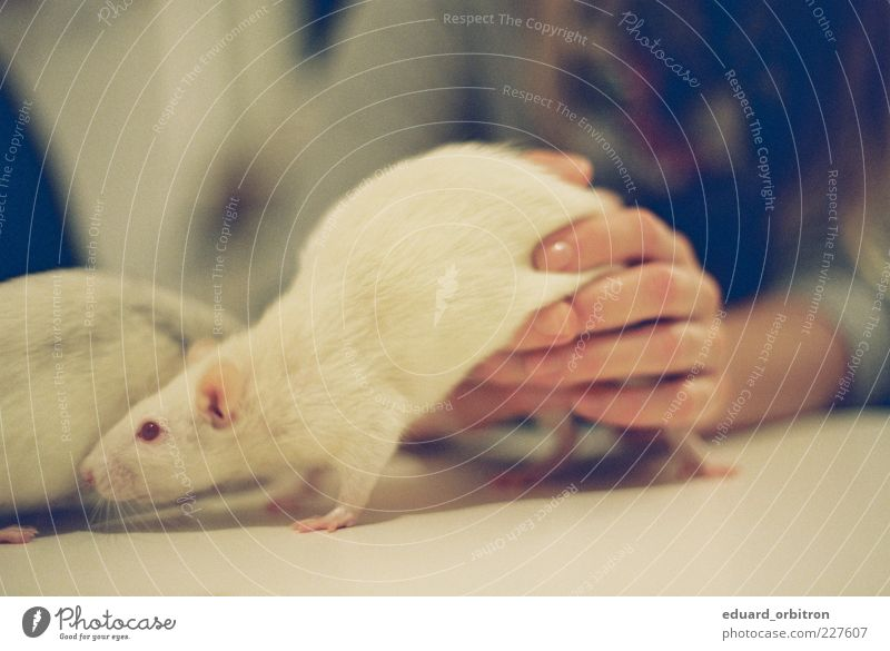 Dialectic of warming up Hand 1 Human being Animal Pet Rat 2 Playing Colour photo Subdued colour Interior shot Close-up Artificial light Shallow depth of field