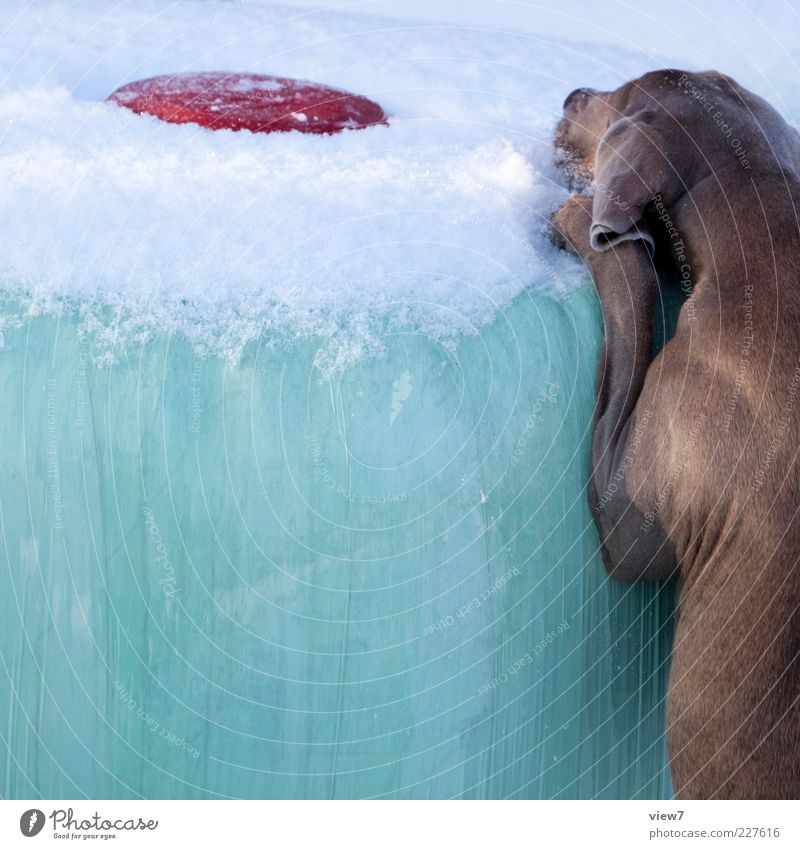 briefly :: Winter Beautiful weather Ice Frost Snow Animal Pet Dog 1 Observe Discover Make Looking Playing Jump Authentic Simple Cold Long Muscular Above Cliche