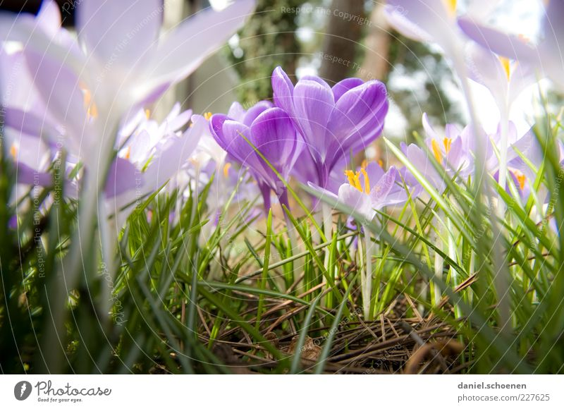 Don't be jealous! Nature Plant Spring Climate Blossom Meadow Green Crocus Close-up Macro (Extreme close-up) Light Blossom leave Violet Spring flower