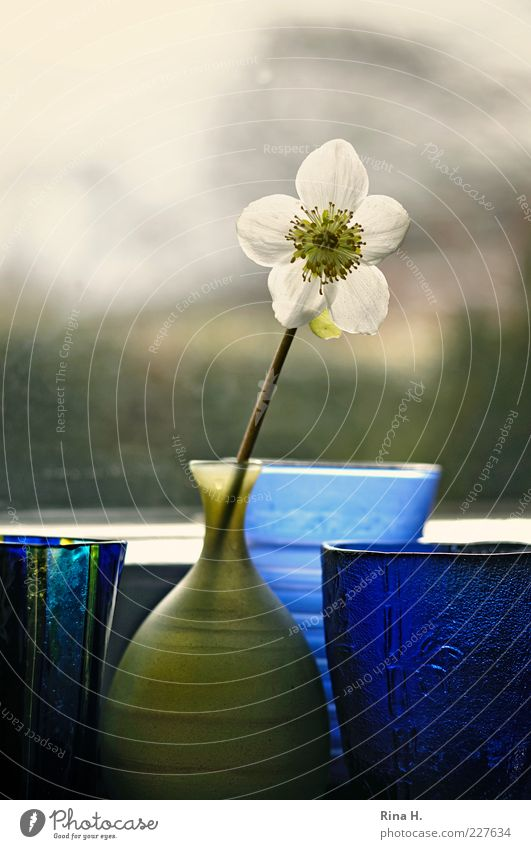 waiting for spring Flower Christmas rose Vase Blue Green Window Window board Still Life Colour photo Interior shot Deserted Copy Space top Back-light