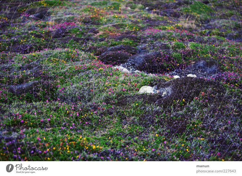 Nature Beautiful Plant Vacation & Travel Grass Stone Authentic Bushes Blossoming Moss Flower meadow Heathland Brittany Wild plant Mountain heather Broom blossom