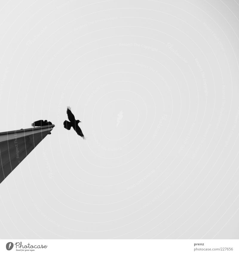 Sky Animal Black Far-off places Movement Gray Bird Flying Concrete Wing Point Departure Flight of the birds Crow Black & white photo