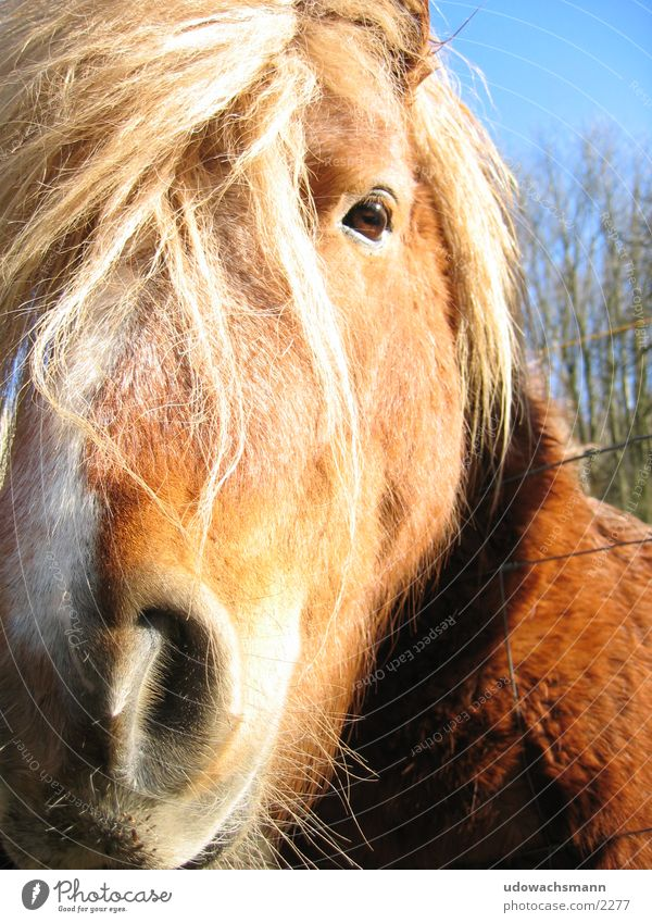 Animal Transport Horse Bangs Snout Hair and hairstyles Icelander