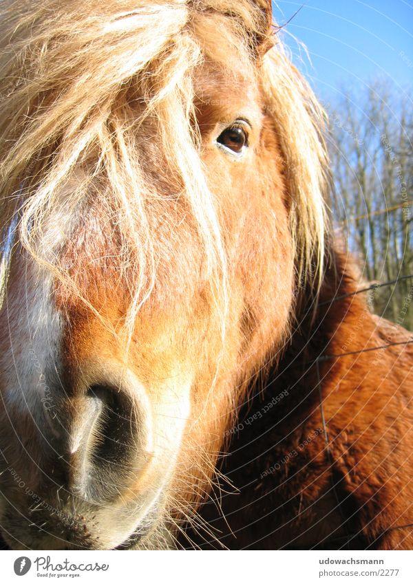 Icelanders Horse Animal Snout Transport Bangs Close-up