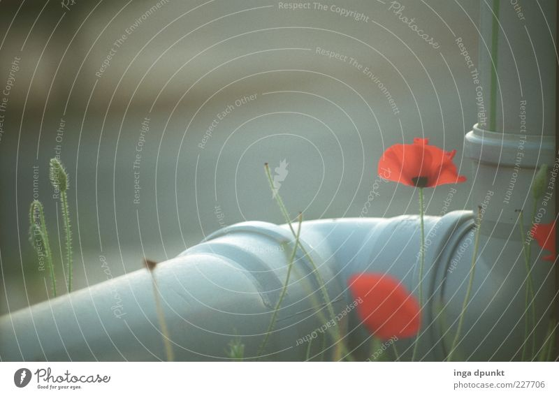 Plant Red Flower Gray Blossom Exceptional Growth Illuminate Beginning Plastic Blossoming Poppy Connection Faded Wild plant Poppy blossom