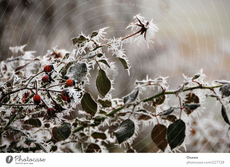 ice fog Plant Bushes Rose hip Leaf Branch Twig Cold Frozen Ice Fog Crystal structure Ice crystal Snow crystal Winter Shallow depth of field Close-up