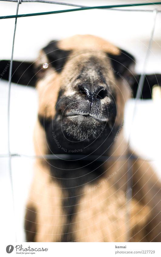 Nature Animal Black Eyes Head Bright Brown Nose Cool (slang) Animal face Curiosity Fence Sheep Brash Captured Pride