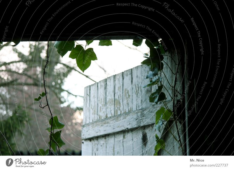 In or out? Plant Ivy Leaf Decline Wooden door Wooden gate Entrance Way out Storage shed Open Mysterious Architecture Old Nostalgia Barn door Tendril Day