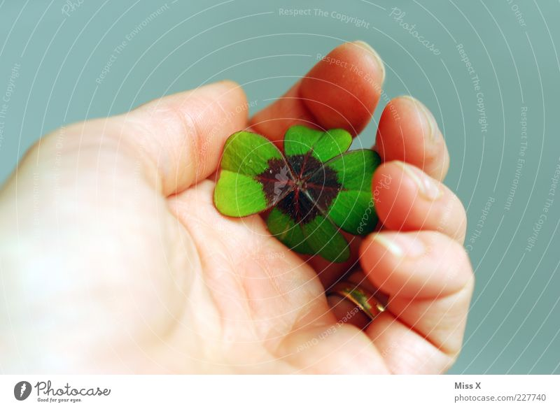 lucky clover Leaf Positive Happy Hope Clover Cloverleaf Four-leaved Good luck charm Symbols and metaphors Colour photo Multicoloured Close-up Neutral Background