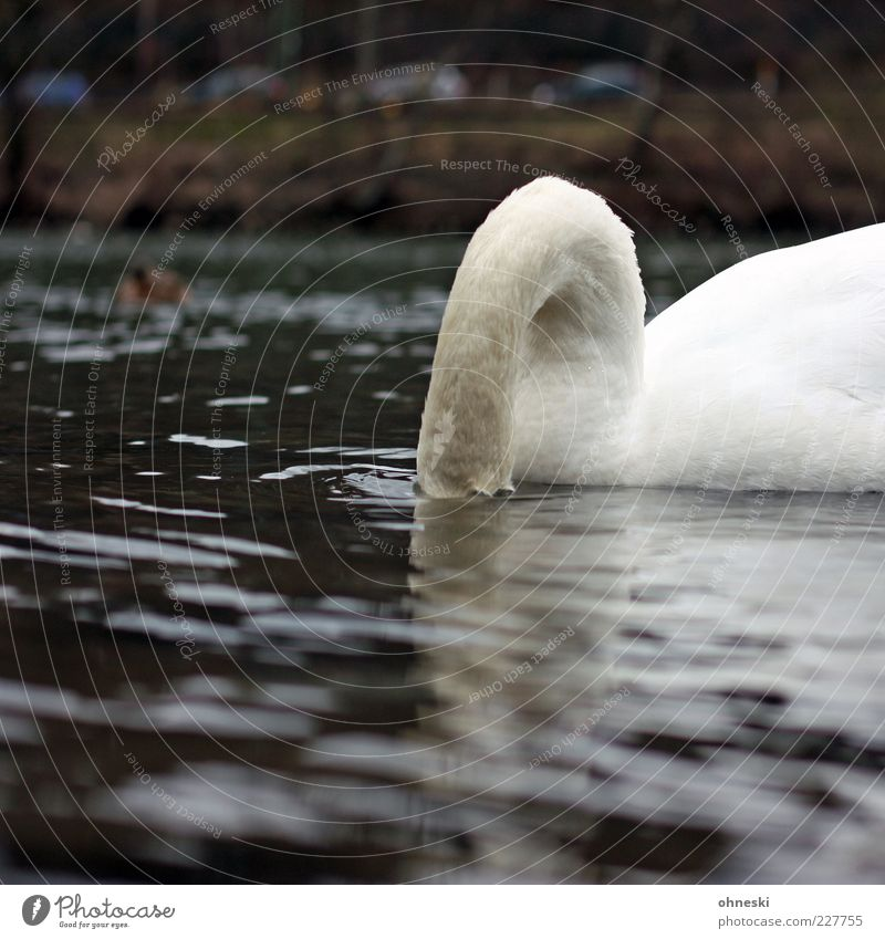 Water Animal Wild animal Drinking River Dive Hide Neck To feed Swan Surface of water Plumed Foraging Water reflection