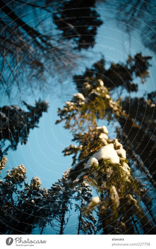 Ents Environment Nature Landscape Plant Sky Winter Beautiful weather Ice Frost Snow Tree Forest Large Tall Cold Treetop Heavy Suspended Hang Branch Snow layer