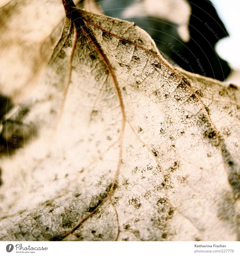 contemporary witnesses Winter Nature Autumn Leaf Dry Brown Seasons Dried Blur Rachis X-rayed Sunlight Copy Space Deserted Shriveled Macro (Extreme close-up)
