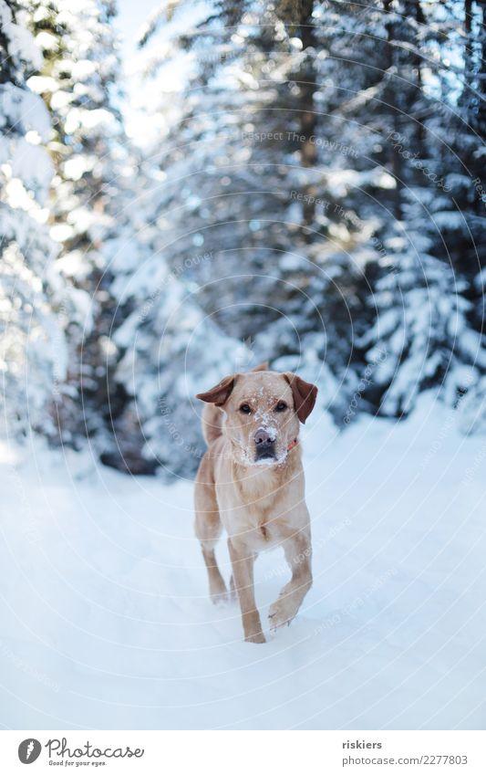 Nature Dog Beautiful White Landscape Animal Winter Forest Environment Natural Snow Free Esthetic Blonde Joie de vivre (Vitality) Walking