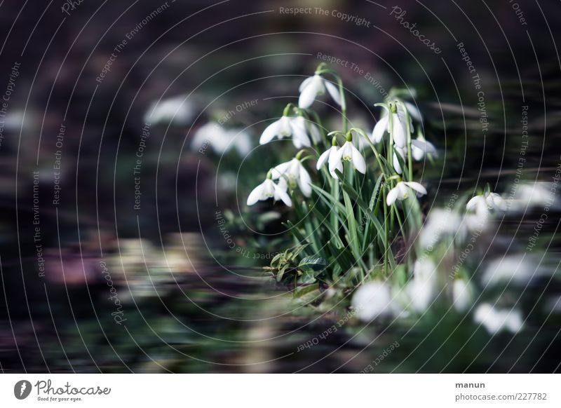 snowdrops Nature Spring Flower Leaf Blossom Snowdrop Spring flower Spring flowerbed Spring flowering plant Garden Exceptional Authentic Fantastic Beautiful