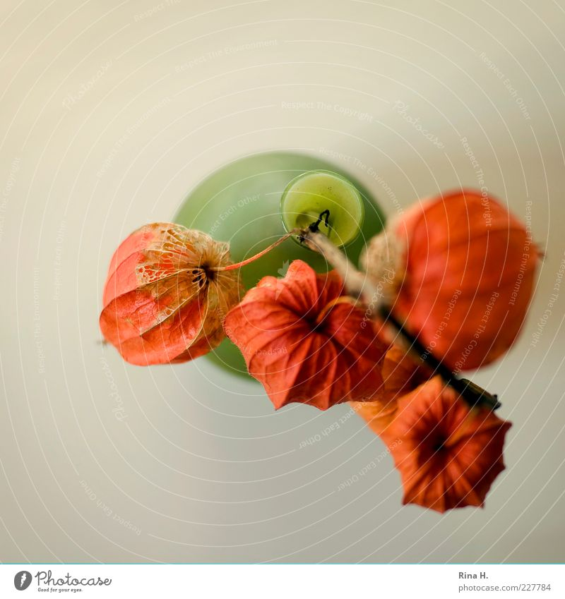 lampions Autumn Flower Chinese lantern flower Physalis Faded To dry up Decline Transience Seed Vase Orange Still Life Colour photo Interior shot Copy Space left