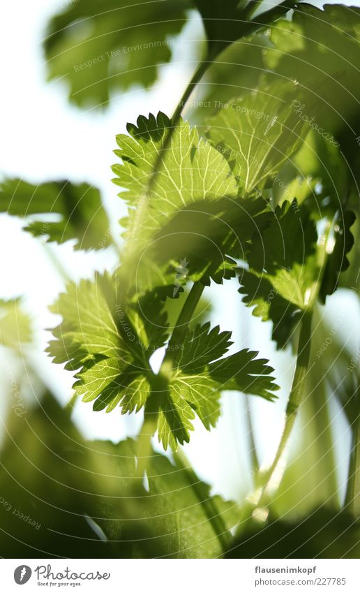 kitchen coriander Food Coriander Spring Plant Leaf Pot plant Healthy Green Colour photo Interior shot Close-up Deserted Day Sunlight Shallow depth of field