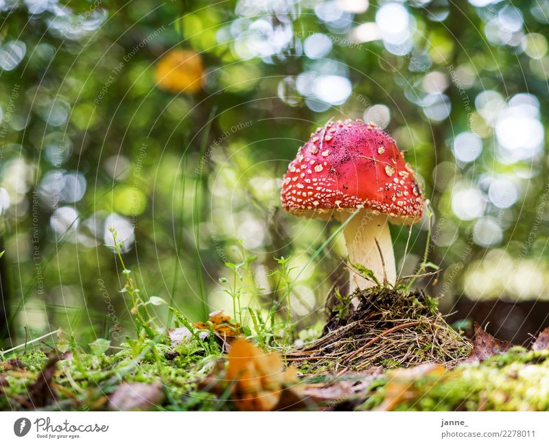 fly agaric Environment Nature Plant Forest Green Red Amanita mushroom Mushroom Woodground Blur Ground level Colour photo Exterior shot Day Light Sunlight
