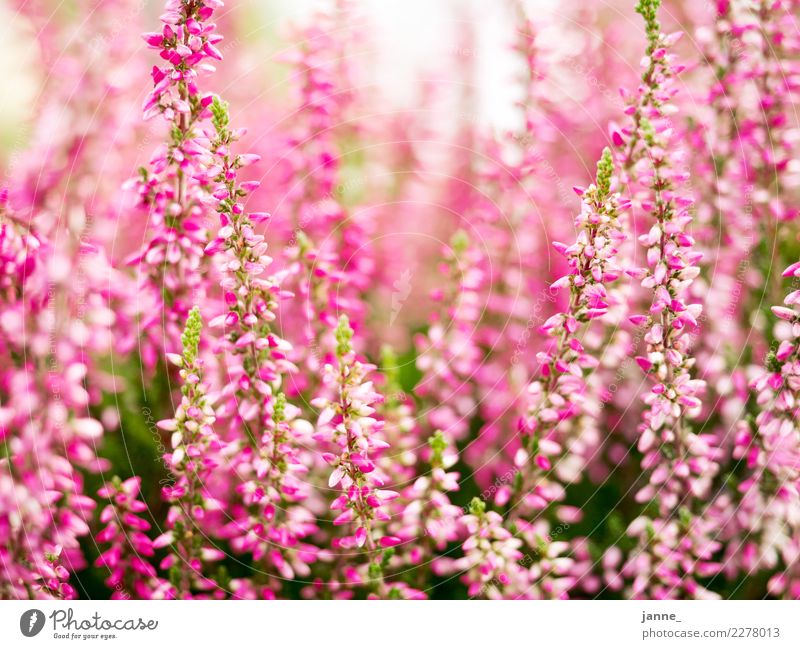 my balcony Nature Plant Sunlight Summer Beautiful weather Garden Fragrance Warmth Green Pink Blur Colour photo Exterior shot Day Light Contrast