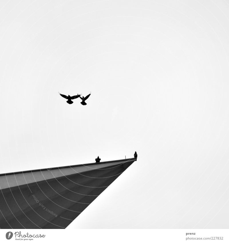 Sky Animal Black Environment Gray Air Bird Flying Concrete Wing Point Worm's-eye view Equal Crow Synchronous Flight of the birds