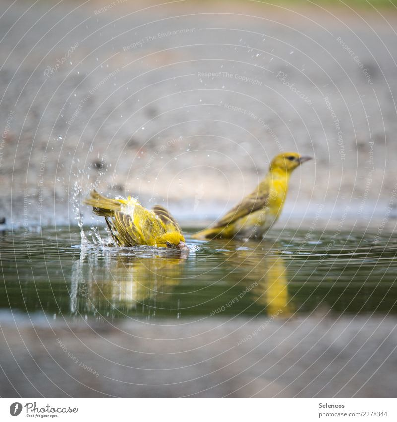 let's go for s swim Water Drops of water Summer Animal Wild animal Bird 2 Swimming & Bathing Wet Natural Puddle Ornithology Colour photo Exterior shot