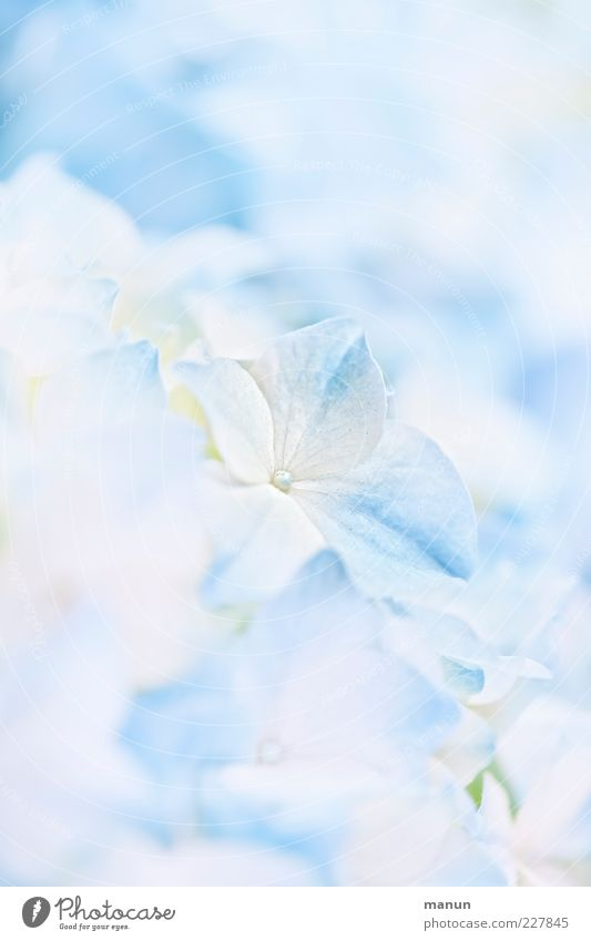 baby blue Nature Flower Blossom Hydrangea blossom Hydrangea leaf Fragrance Bright Beautiful Blue Spring fever Esthetic Ease Light blue Baby blue Delicate
