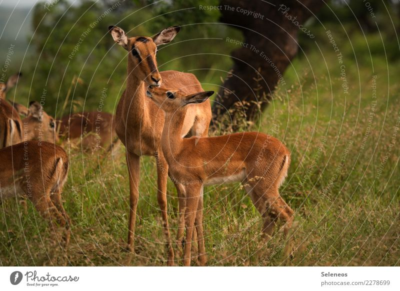 motherly care Vacation & Travel Tourism Trip Adventure Far-off places Freedom Safari Expedition Summer Environment Nature Animal Wild animal impala Antelope 2