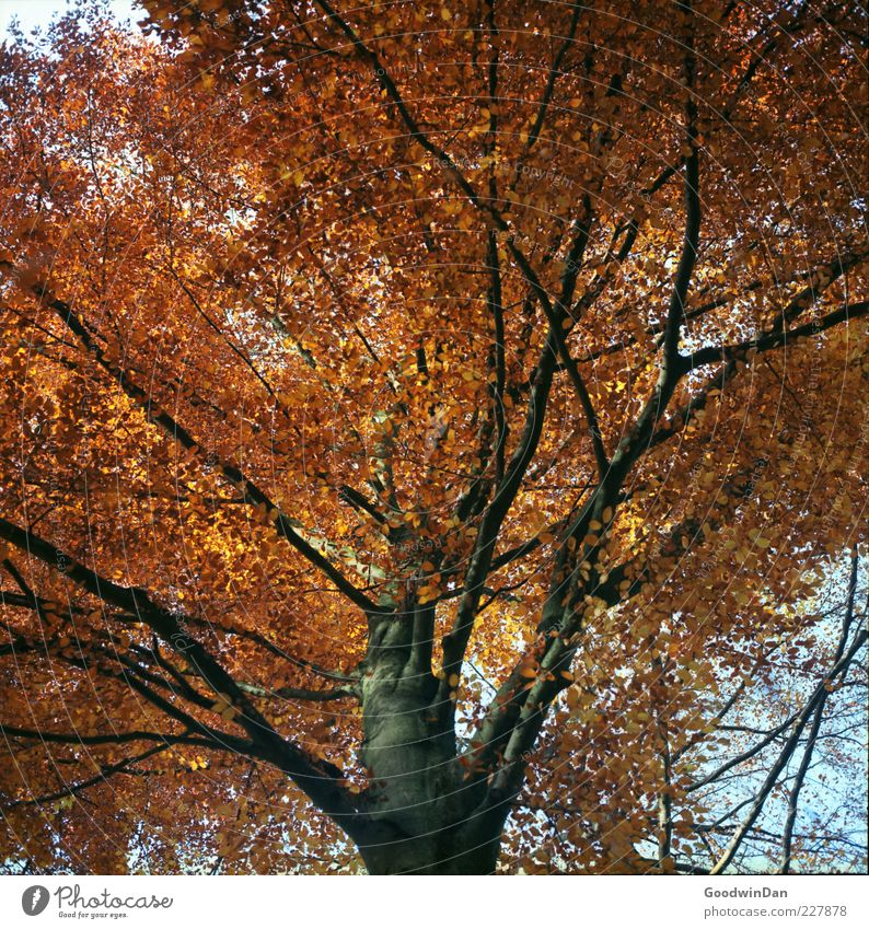 Nature Old Tree Plant Autumn Environment Bright Large Authentic Many Treetop Gigantic Autumnal Deciduous tree Twigs and branches Autumnal colours