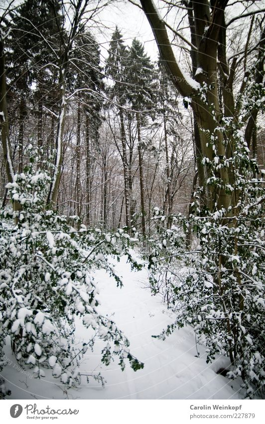 Snowgate. Nature Landscape Plant Winter Climate Weather Ice Frost Tree Bushes Leaf Forest Hill Esthetic Exceptional Cold Brown Green White Snowscape Clearing