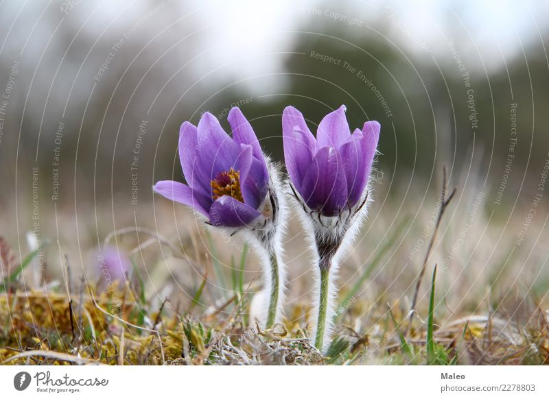 kitchen clamps Anemone Flower Spring Morning Meadow March Blossom Plant Beautiful Crowfoot Forest Grass Nature Wild Violet Blue Green Blossom leave Colour