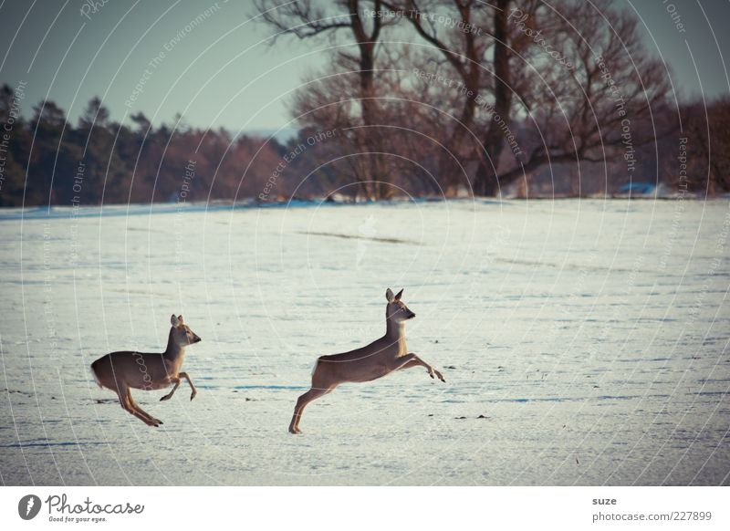 Young hopper Hunting Winter Environment Nature Landscape Animal Sky Tree Forest Wild animal 2 Pair of animals Running Jump Roe deer Escape Coincidence Movement