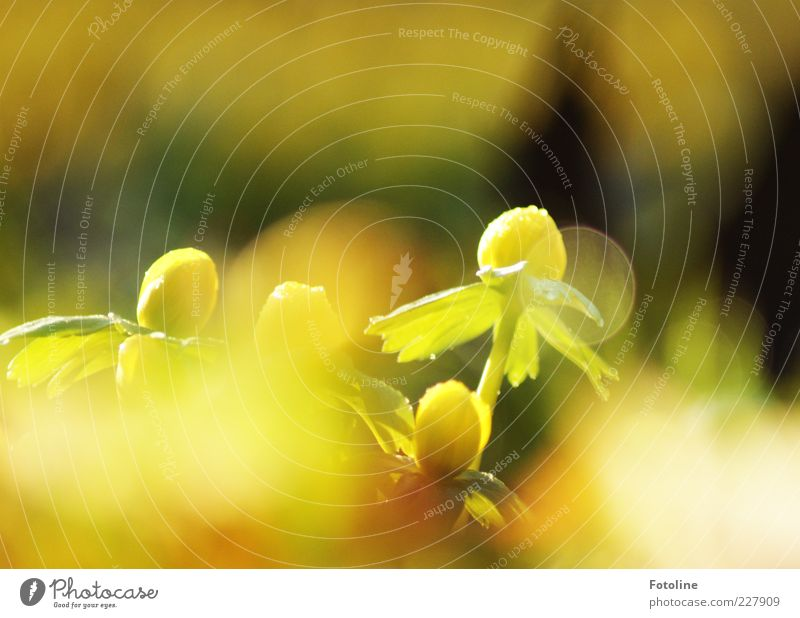 I dream of spring... Environment Nature Plant Elements Water Drops of water Spring Flower Leaf Blossom Wild plant Bright Natural Warmth Yellow Green