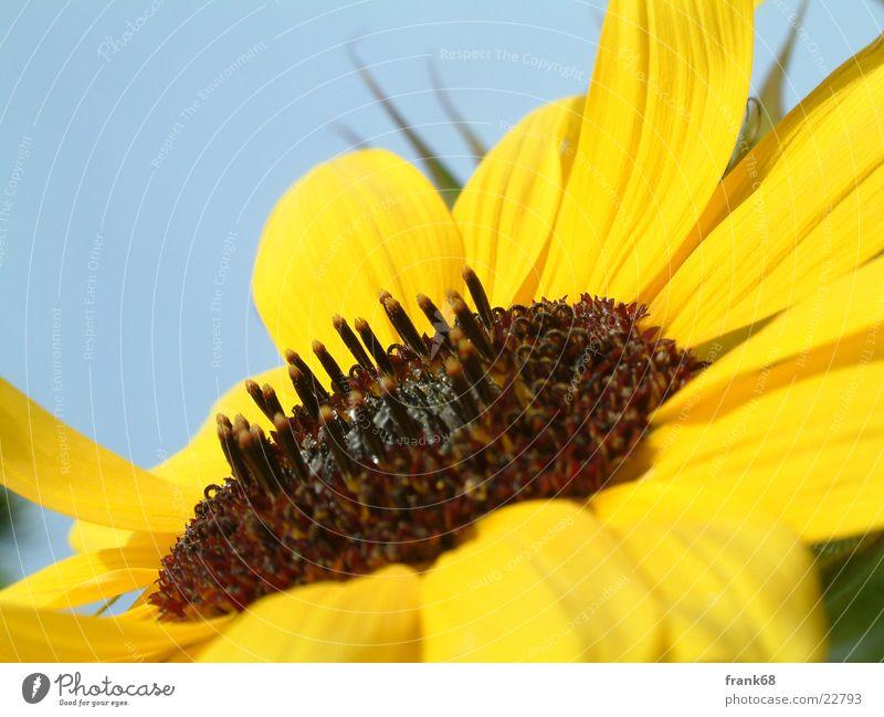 sunflower Sunflower Flower Meadow Plant