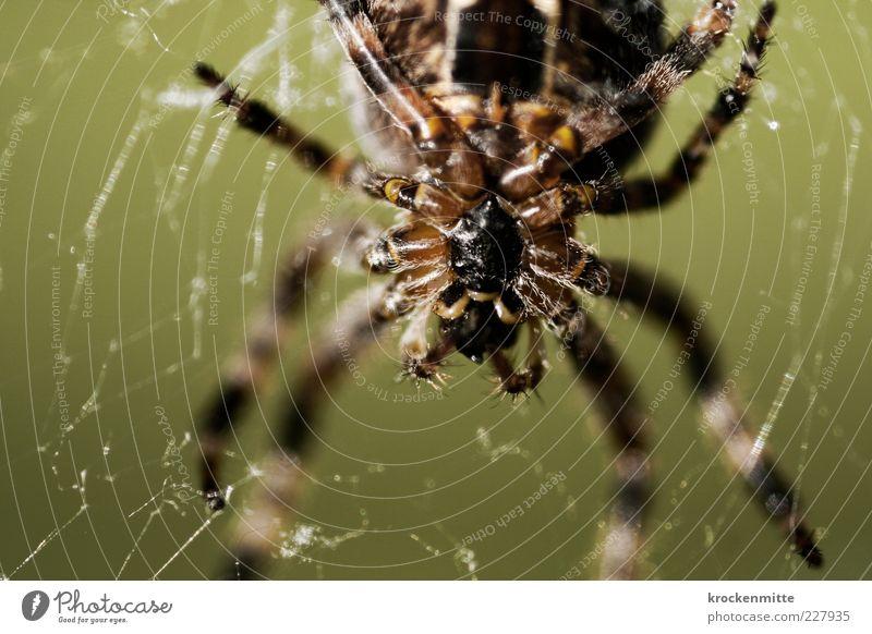 Nature Animal Black Brown Spider Macro (Extreme close-up) Spider's web Net Blur Spider legs