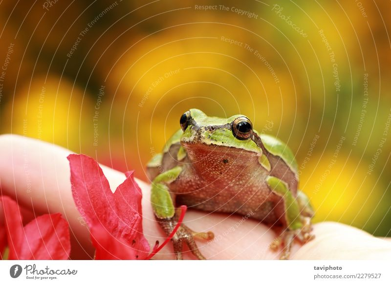 beautiful green tree frog on human hand Beautiful Skin Face Life Garden Human being Baby Hand Fingers Environment Nature Animal Tree Sit Small Natural Cute Wild