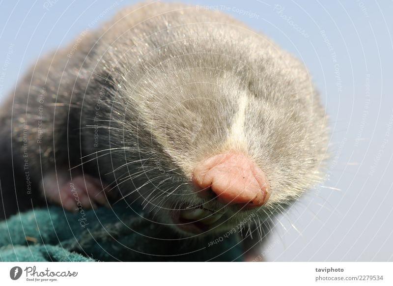 close up of lesser mole rat head Beautiful Face Family & Relations Teeth Nature Animal Meadow Fur coat Cute Wild Brown Gray Green Rat spalax leucodon Mammal