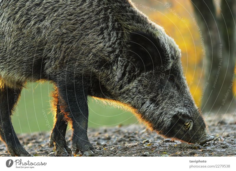 closeup of wild boar in sunset light Nature Man Colour Beautiful Animal Forest Face Adults Natural Brown Wild Europe Dangerous Large Living thing Mammal