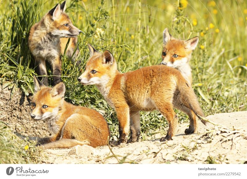 cute little red fox cubs in natural environment Beautiful Face Baby Family & Relations Youth (Young adults) Environment Nature Animal Grass Fur coat Dog