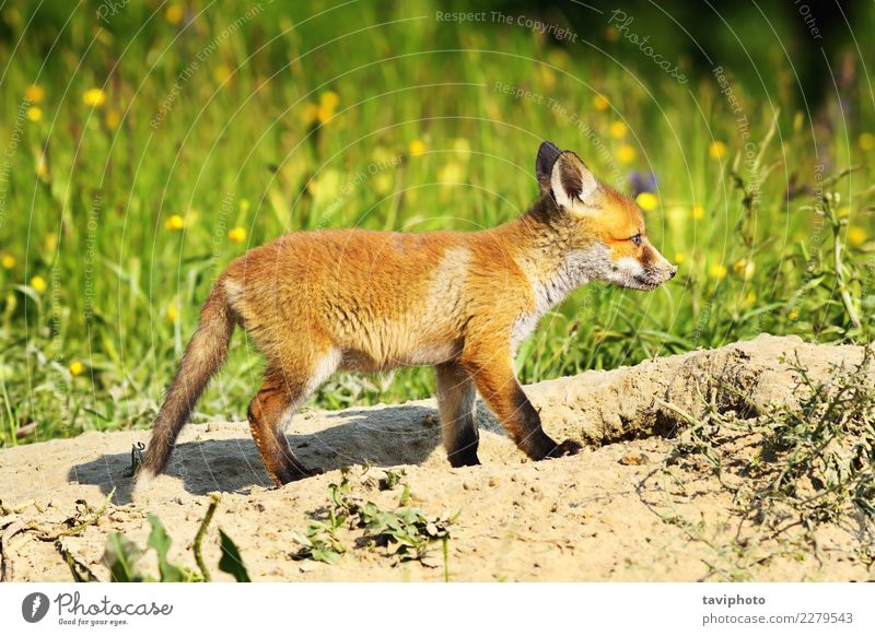 cute young red fox Nature Dog Beautiful Green White Red Animal Face Baby animal Grass Family & Relations Small Brown Wild Cute