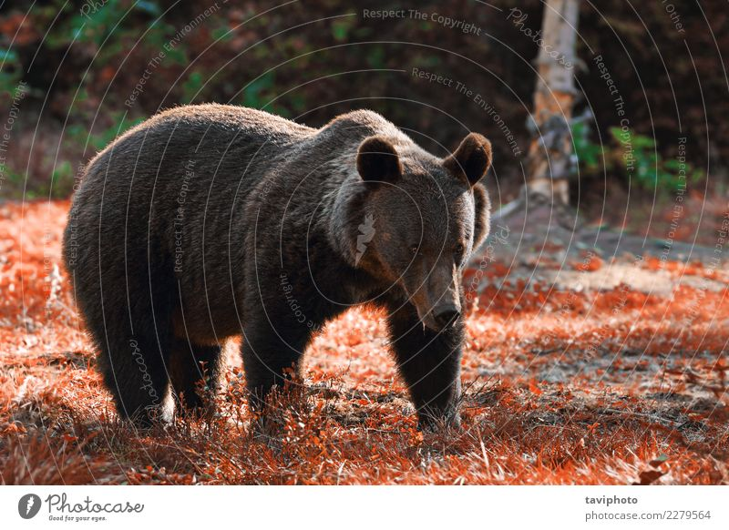 huge brown bear in the wild Nature Man Old Summer Animal Forest Adults Environment Autumn Natural Brown Wild Park Power Stand Dangerous