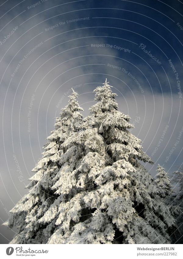 Sky Nature Blue White Tree Plant Clouds Winter Snow Environment Above Tall In pairs Idyll Fir tree Weight
